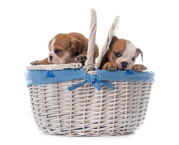 Chiots bulldog anglais dans le panier