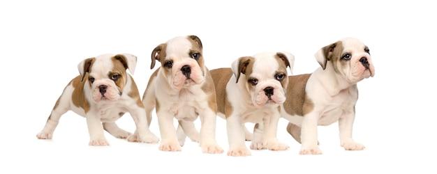 Chiots bulldog anglais
