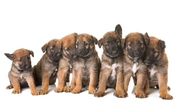 Chiots chien de berger belge laekenois