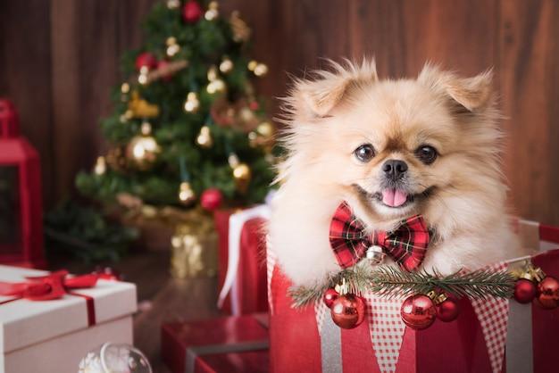 Chiots de chien mignon poméranie portant un chapeau de père noël dans une boîte cadeau