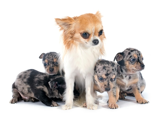 Chiots et chihuahua adulte