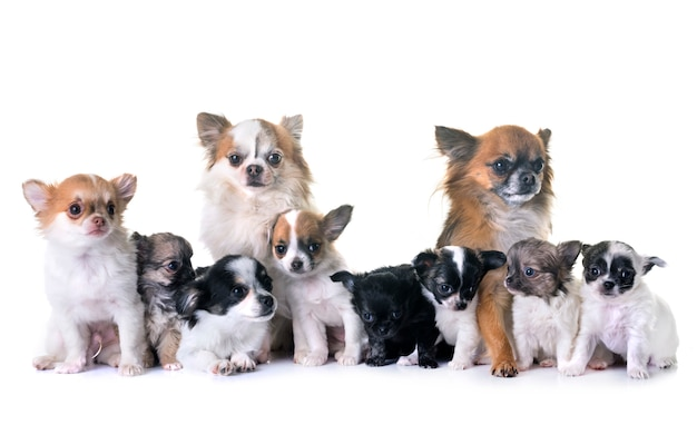Chiots chihuahua et adultes