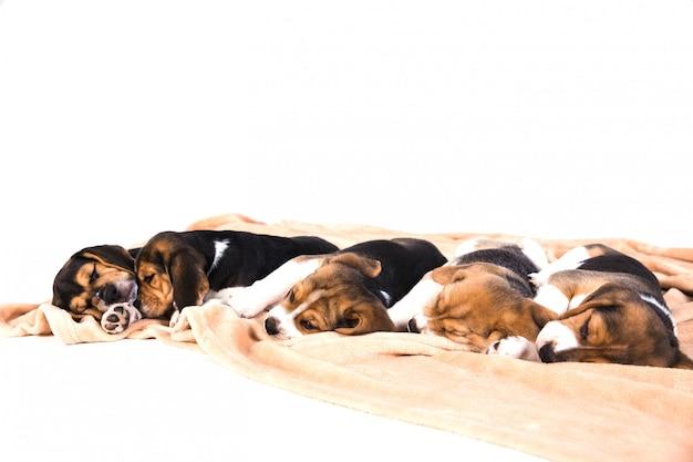 Chiots dormant sur une couverture