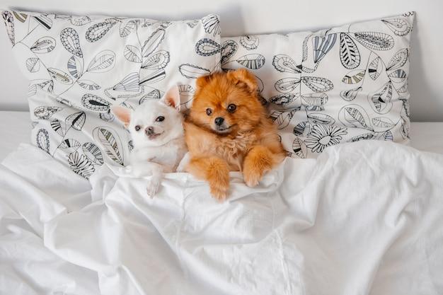 Chiots drôles couchés sous une couverture au lit.