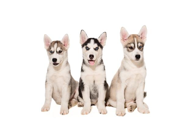 Chiots husky sibérien. trois chiots charismatiques sur fond blanc. isolé
