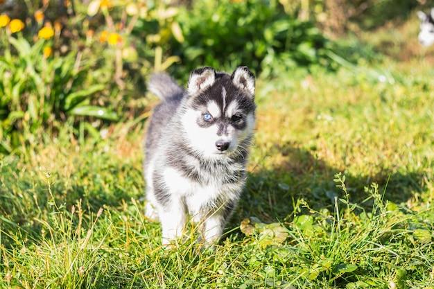 Chiots husky sibérien