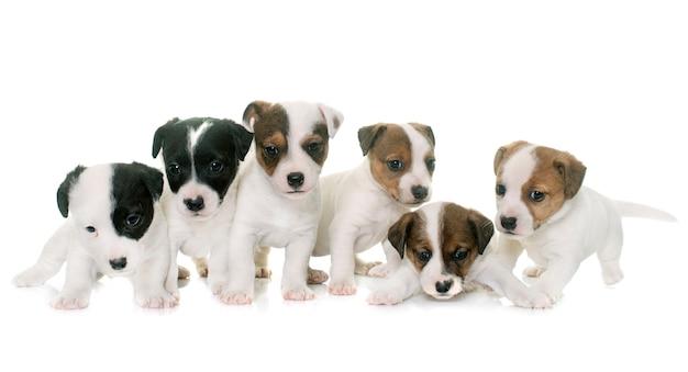 Chiots jack russel terrier