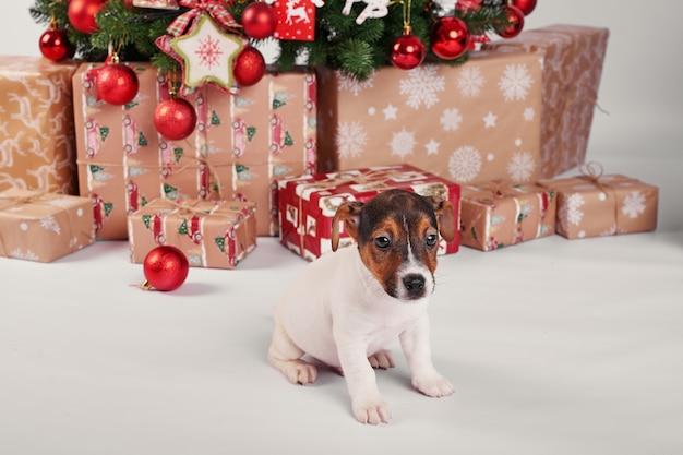 Chiots jack russell terrier à l'intérieur du nouvel an
