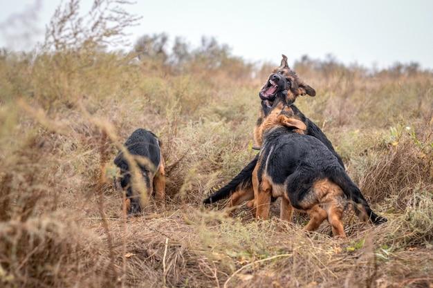 Chiots jouant à l'extérieur. chiens de berger allemand dans le champ de l'automne. animal domestique. accueil animal et gardien de la famille. la nature sauvage.