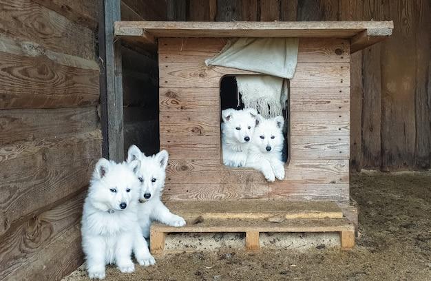 Chiots mignons d'un berger suisse blanc dans un look de stand en bois