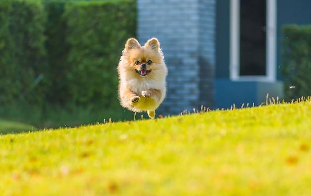 Chiots mignons pomeranian mixed race pekingese dog courir sur l'herbe avec bonheur