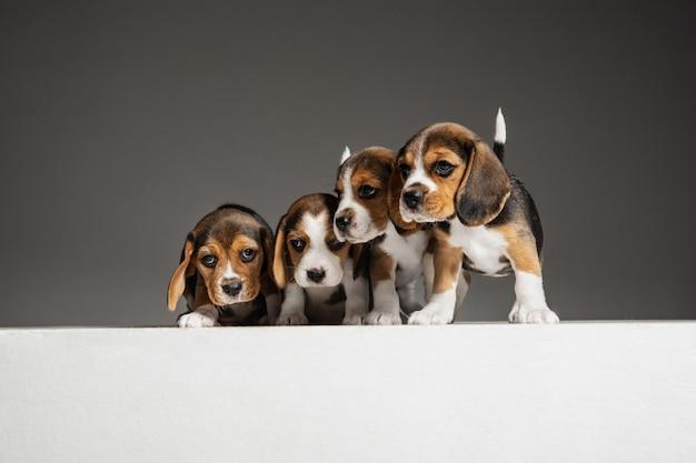 Les chiots tricolores beagle posent. mignons toutous ou animaux de compagnie blanc-brun-noir jouant sur un mur gris. regard attentif et joueur. concept de mouvement, mouvement, action. espace négatif.