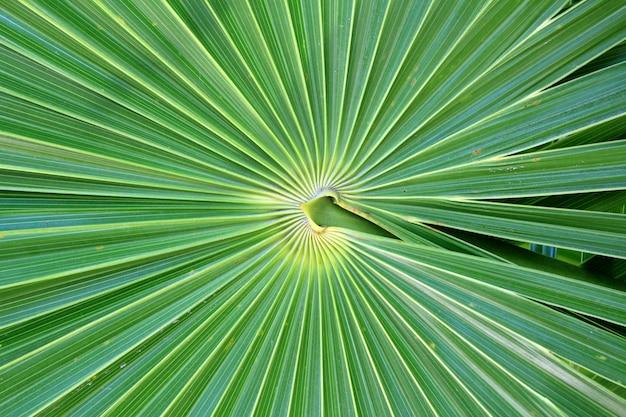Chit florida palmier thrinax radiata