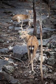 Chital, cheetal, cerf tacheté, cerf de l'axe, parc national en thaïlande.
