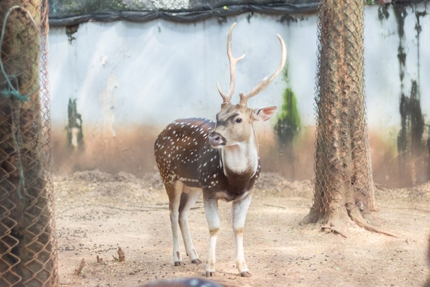 Le chital ou cheetal également connu sous le nom de cerf tacheté ou de cerf d'axe qui vit dans le zoo de la thaïlande