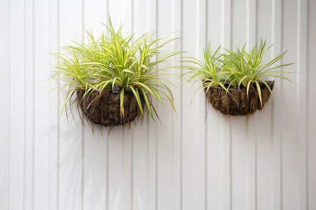 Chlorophytum comosum suspendu à une paroi de zinc. variegatum. plante araignée