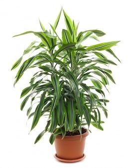 Chlorophytum - plantes à fleurs vivaces à feuilles persistantes