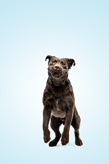 Chocolat labrador retriever dogindoors chiot drôle sur mur bleu.