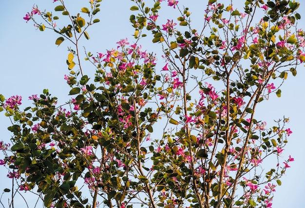 Chongkho en fleurs dans le jardin