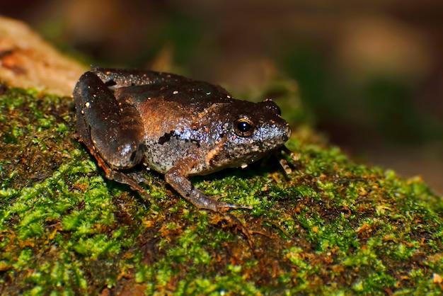 Chorale de berdmore's chorus frog microhyla berdmorei