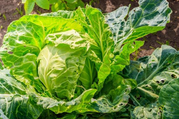 Chou dans le jardin. légumes dans le jardin. récolte maison. légumes non ogm.