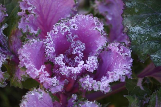 Chou décoratif ornemental violet recouvert d'une rosée du matin, mise au point sélective
