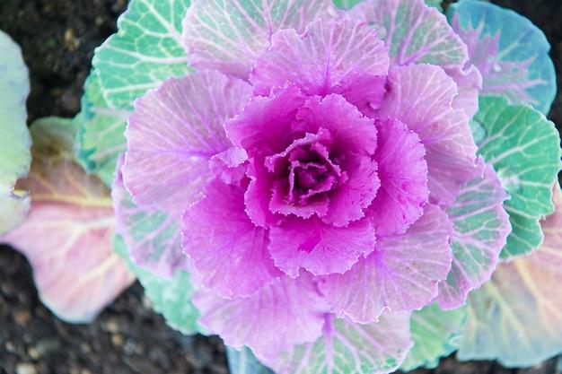 Chou décoratif avec vue de dessus de feuilles violettes. plante de chou frisé fleurissant en plein air. culture décorative de jardin. chou qui fleurit comme une fleur. plante de chou d'ornement se bouchent. belle récolte de choux.