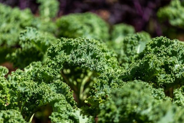Chou frisé sur un sol organique naturel. le chou frisé est un légume d'hiver capable