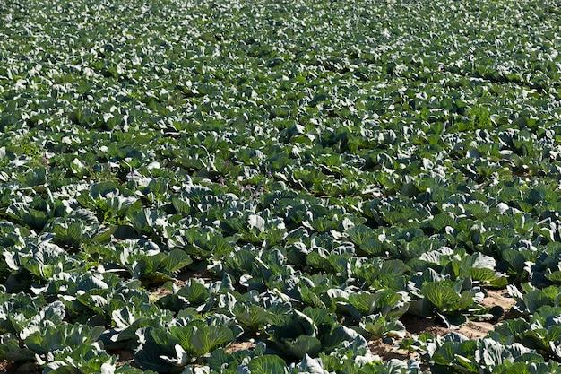 Chou vert dans un champ - champ agricole sur lequel pousse le chou vert, agriculture