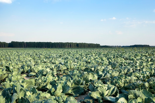 Chou vert dans un champ - champ agricole sur lequel poussent du chou vert. il y a des défauts dans le chou d'insectes, etc.