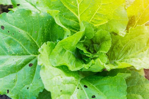 Chou vert dans les parcelles de légumes