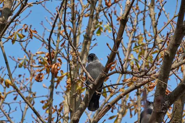 Choucas assis sur une branche de châtaigne