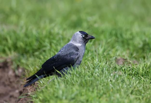 Un choucas (coloeus monedula) est dans l'herbe verte dense. les yeux bleus de l'oiseau sont attrayants