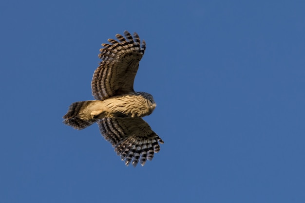 Chouette brune et blanche volant