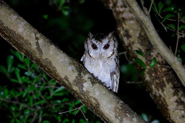Chouette hulotte otus sagittatus beaux oiseaux de thaïlande