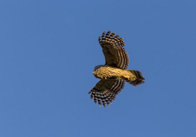 Chouette volant dans un ciel bleu clair