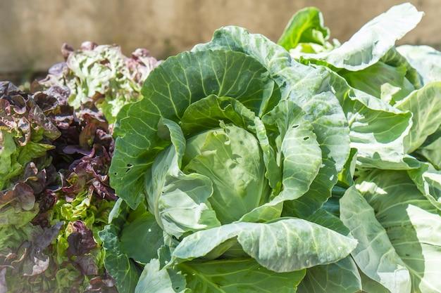 Choux et laitue, légumes de saison, terres fraîchement foutues