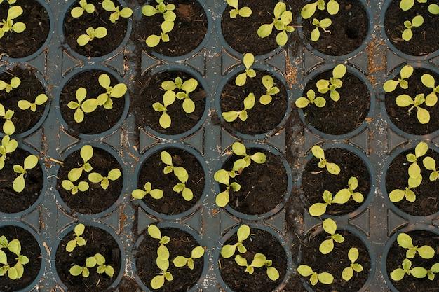 Choux verts en pots dans une serre, vue de dessus
