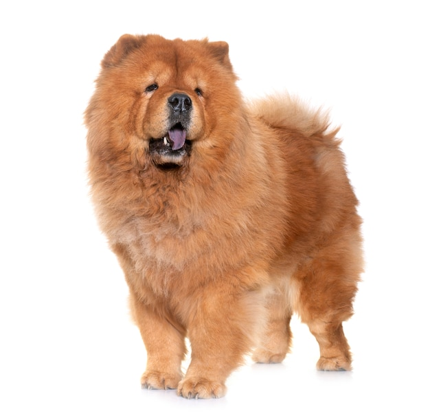 Chow chow chien