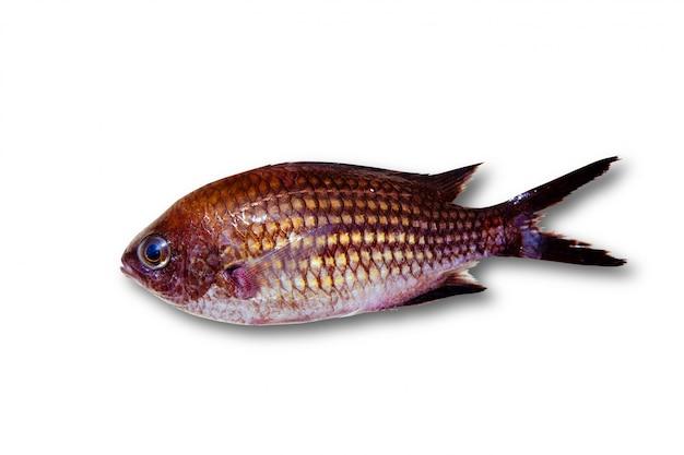 Chromis chromis poisson de roche damselfish isolé