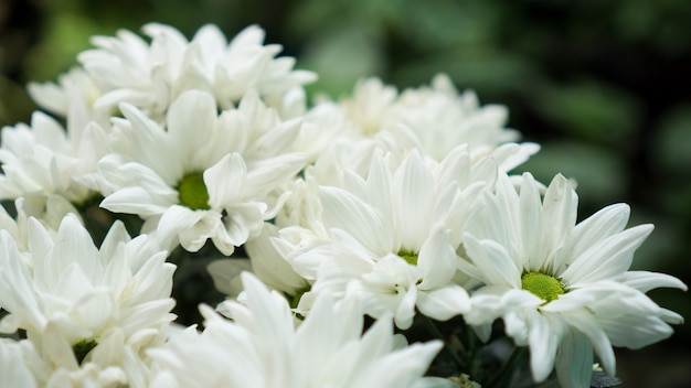 Chrysanthée blanc en fleurs