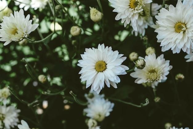 Chrysanthème, arrangement floral, tête de fleur, pétale, plante