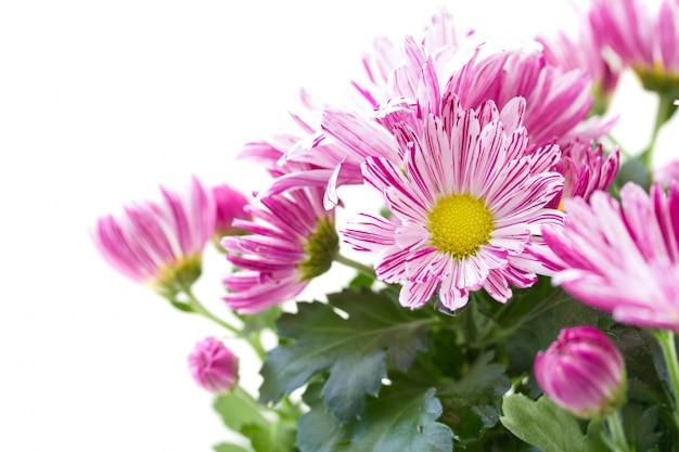 Chrysanthème sur blanc