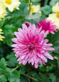 Chrysanthème dans le jardin se bouchent