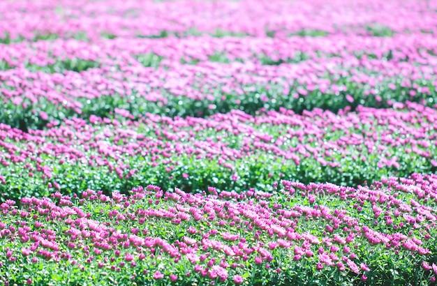 Chrysanthème dans le jardin.
