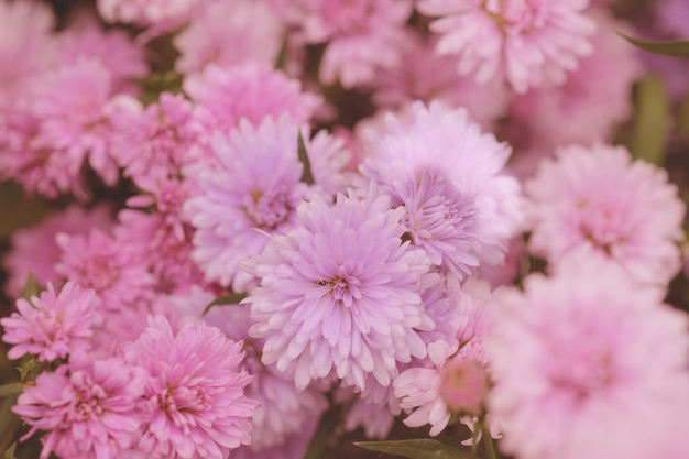 Chrysanthème de fleurs colorées pour le fond