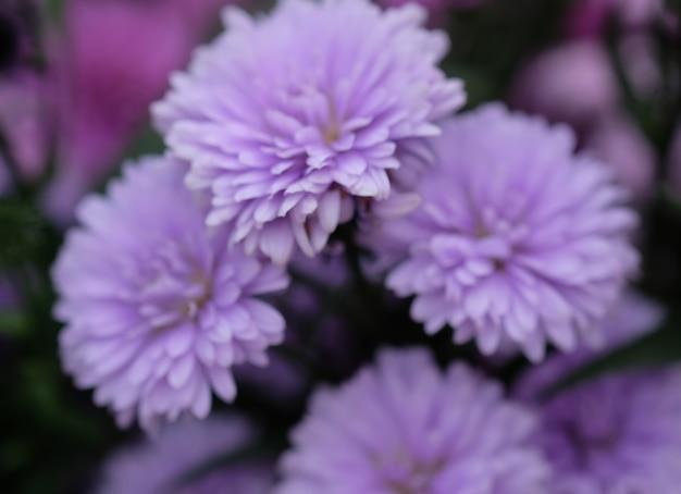 Chrysanthème de fleurs colorées pour le fond.