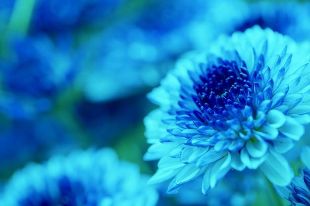 Chrysanthème de fleurs colorées