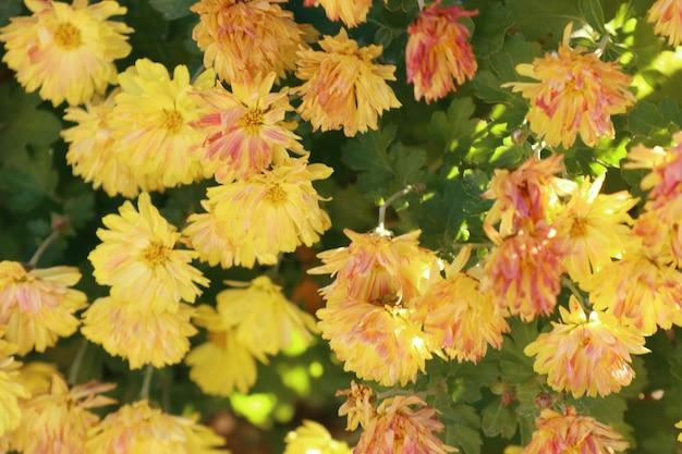 Chrysanthème, fleurs, printemps, corée