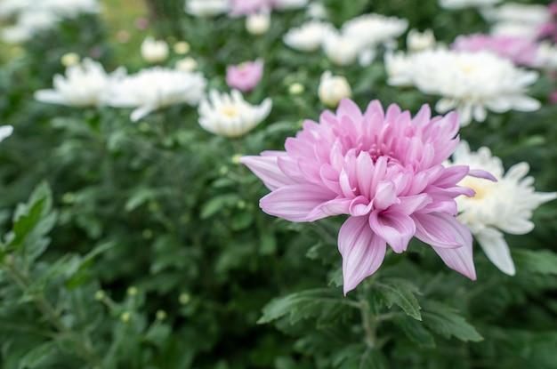 Chrysanthème de fleurs roses dans le jardin cultivé pour la vente et pour la visite.